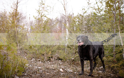 senior black retriever standing in cedar trees
