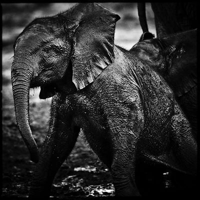 7870-Baby_elephant_with_mud_Laurent_Baheux
