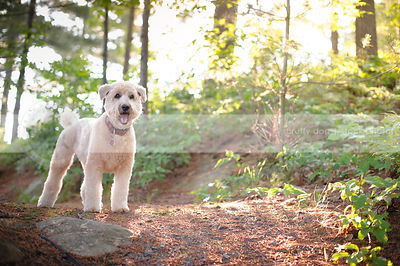 blond wheaten terrier dog standing on trail in park