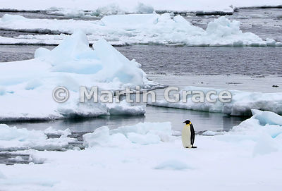 Single Emperor Penguin (Aptenodytes forsteri) standing on an ice floe by Snow Hill Island, Weddell Sea, Antarctica