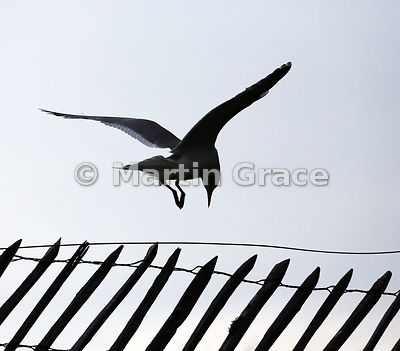 Common Gull (Mew Gull) (Larus canus) about to land on a paling fence, Lochindorb, Scottish Highlands