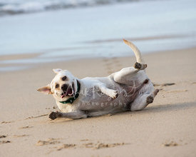Yellow Labrador Retriever Rolling on Side on Beach