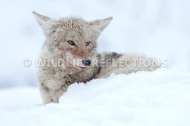 coyote_snow_bed_1