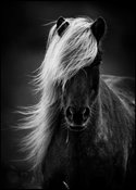 White mane on black horse, Iceland 2015 © Laurent Baheux