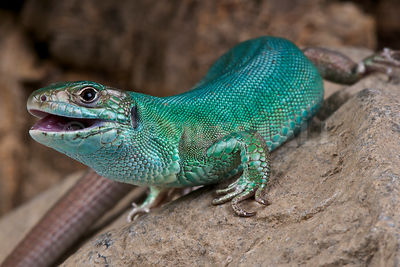 Western green lizard (Lacerta bilineata) photos