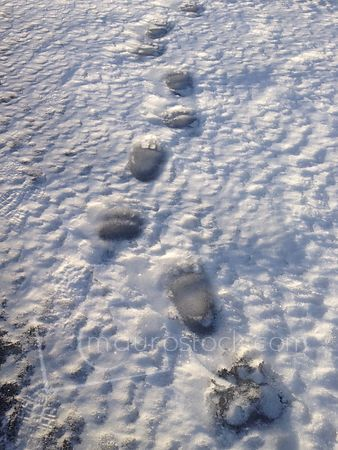 Bear tracks on the river photos