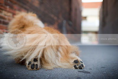 closeup of fluffy red dog tail and paws from behind lying in urban alley