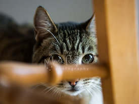 Tabby car peering from behind chair