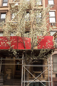A flowering pear tree blooms through construction and scaffolding in Chelsea, New York.
