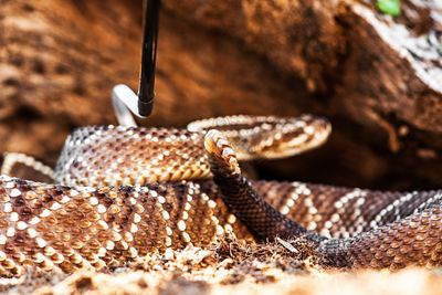 South American Rattlesnake Being Picked Up With Hook