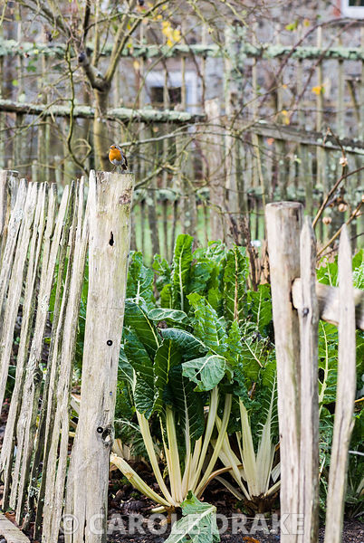 Robin on palings around the vegetable garden with chard plants inside. RHS Garden Rosemoor, Great Torrington, Devon, UK