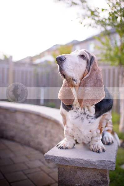 basset hound dog looking skyward from patio stone wall in yard