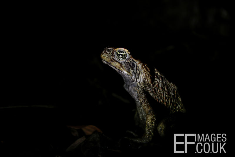 Cane Toad At Night