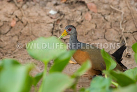 grey_necked_wood_rail_hyacinth-1-Edit