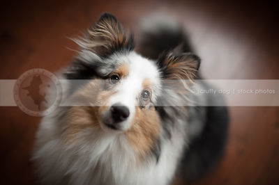 headshot of pretty sheltie dog staring upward indoors