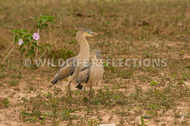 whistling_heron_chicks_together-1_1