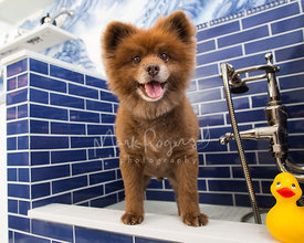 Smiling Brown Pomeranian Dog Mix  Standing in Fancy Dog Bath