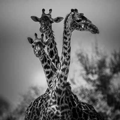 4892-Tree_giraffes_Laurent_Baheux