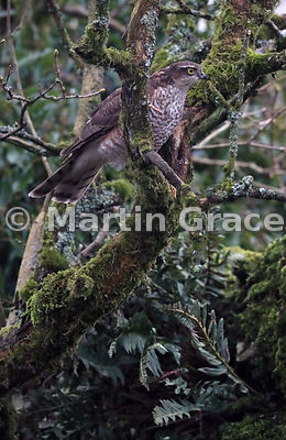 Juvenile male Eurasian Sparrowhawk (Accipiter nisus), Lake District National Park, Cumbria, England
