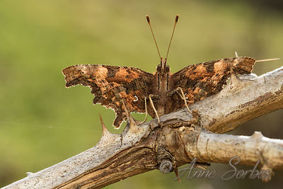 Robert-le-Diable (Polygonia c-album) photos