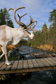 Reindeer crossing a river on a wooden bridge
