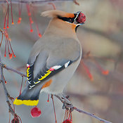 Waxwings photos