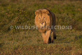 male_lion_forward_ndutu_02202015-6