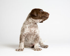 Pointer puppy sitting and looking to the side on white background