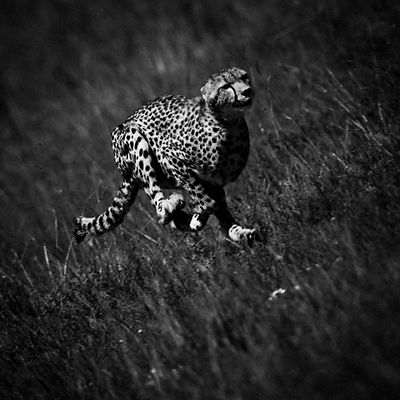 High Speed Cheetah 1, Kenya 2006 © Laurent Baheux