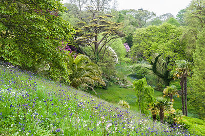 Sloping meadow above the laurel maze is full of naturalized orchids, bluebells, ramsons and aquilegias. Glendurgan, Mawnan Smith, Falmouth, Cornwall, UK