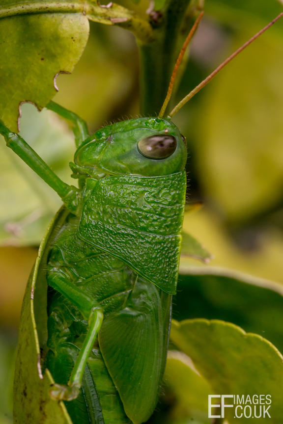 Big Green Grasshopper, Side View, Close Up