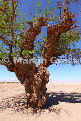 An ancient Pepper tree (Schinus molle) at San Pedro de Atacama