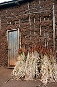 Ripe Sorghum in stooks leaning against house walls, after harvesting and ready for threshing. Rwanda.