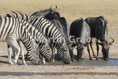 Plains Zebra (Equus burchellii) drinking at Andoni waterhole with Blue Wildebeest (Conochaetes taurinus taurinus), Etosha National Park, Namibia