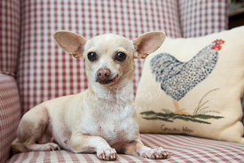 Chihuahua in chair with tongue out
