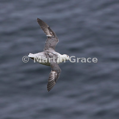 A flying Northern Fulmar (Fulmarus glacialis) checks for aerial predators overhead,  Burravoe, Yell, Shetland