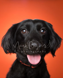 Close-Up Smiling Black Dachshund Mix Dog Against Orange Background