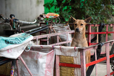 A stray dog in a bicycle cart in Kumartoli (Potter's Town), Kolkata, India.