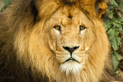 Lion gaze portrait