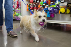 Small Terrier Dog with Tennis Ball in Mouth Walking Through Store