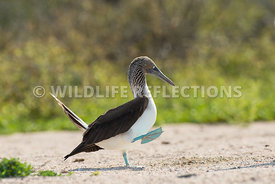 blue_footed_booby_north_seymour-37