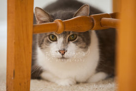 Tan and white cat hiding under chair