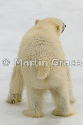Polar Bear (Ursus maritimus) from the rear, Storfjorden, Svalbard