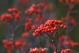 Sitka Mountain-ash (Sorbus sitchensis) berries after the autumn leaves have fallen, growing along the road up to Hart's Pass, Okanogan National Forest, North Cascade Mountains, Washington State, USA, October, 2008_WA_6498