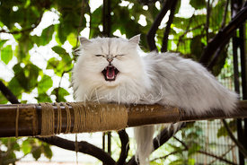 Yawning Persian cat lying on bamboo persh