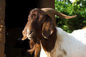 Close up of head of male Boer goat, which have been indroduced to produce bigger stronger quicker growing goats, Mbale, Uganda Africa