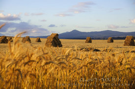 Hay bales stacked on a wheat field,