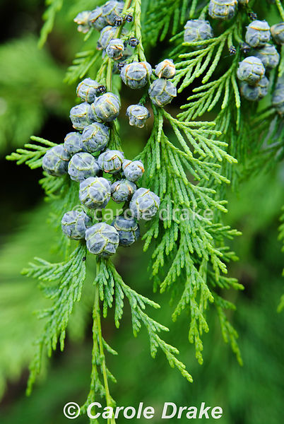 Chamaecyparis lawsoniana cultivar laden with blue baubles. Sir Harold Hillier Gardens/Hampshire County Council, Romsey, Hants, UK