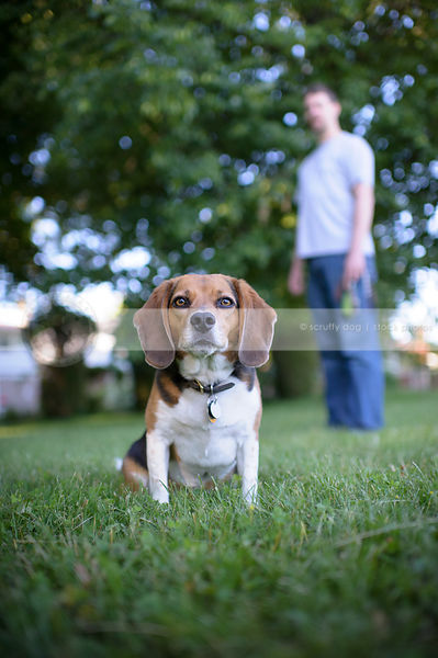 serious beagle dog sitting in mowed grass with owner behind