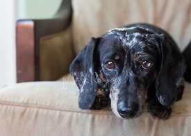 Close-up of Dachshund dog looking at camera with sweet expression